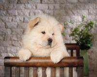 可爱松狮犬桌面壁纸大全