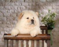 可爱松狮犬宽屏壁纸下载