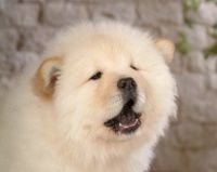 可爱松狮犬高清壁纸下载