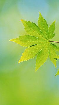清新绿色树叶高清手机壁纸