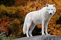 野生动物狼图片