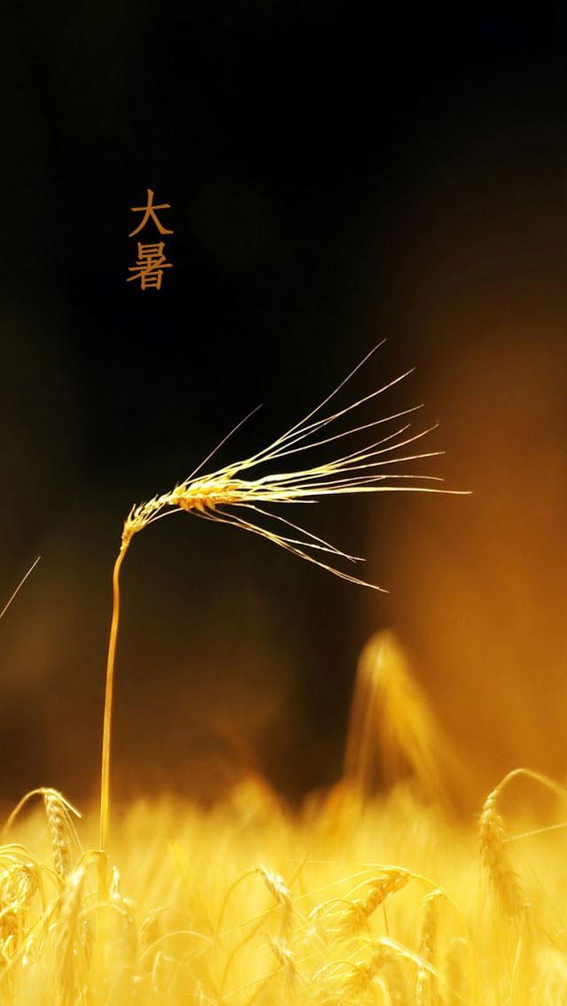 夏季稻田麦穗大自然高清手机壁纸