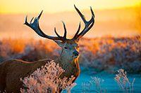 麋鹿野生动物高清图片