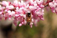 洋槐花蜜蜂图片