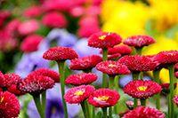 红色菊花图片