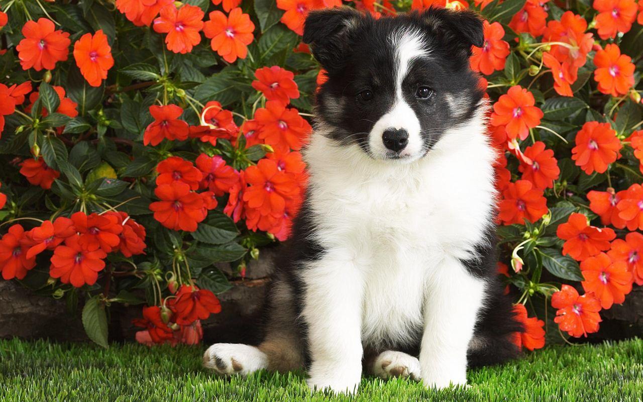 可爱狗狗桌面壁纸高清