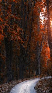 秋季落叶枫叶树木苹果安卓手机壁纸
