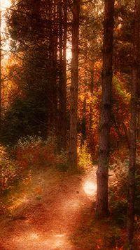 秋季落叶枫叶树木苹果手机壁  纸