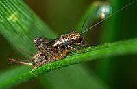 蟋蟀高清图片