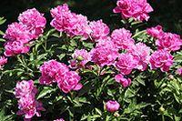 月季花唯美花朵图片