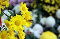黄色菊花唯美图片