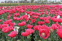 红色花园图片下载