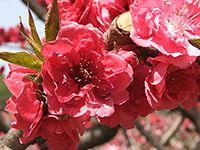 粉色自然花朵图片