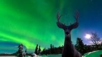 雪地极光下的麋鹿高清图片下载