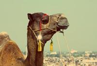 憨厚淡定的骆驼高清图片下载