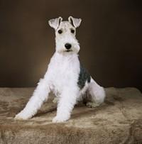 可爱白色小狗高清图片下载