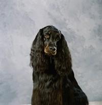 黑色长毛可爱小狗高清图片下载