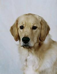 可爱金毛猎犬高清图片下载