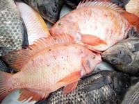 新鲜红色黑色罗非鱼高清图片下载