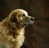 可爱迷人金毛猎犬高清图片下载