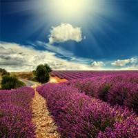 一望无际的紫色薰衣草海洋高清图片下载